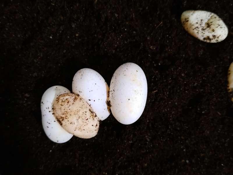 Zapłodnione i niezapłodnione jaja agamy brodatej leżą na torfie