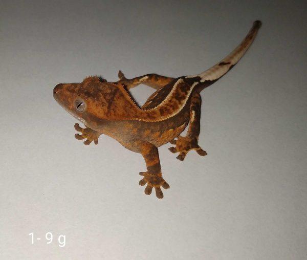 Mały gekon orzęsiony pinstripe w fireupie