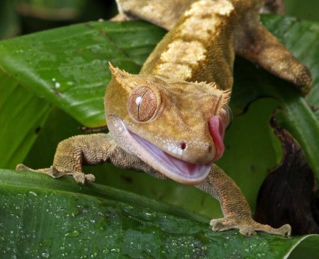 Dorosły gekon orzęsiony na liściu oblizuje usta